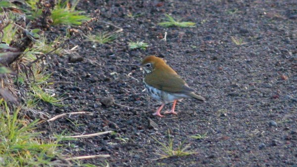 Alaska's 1st record of Wood Thrush on St. Paul Island was completely unexpected this week. Photo by Nate Swick