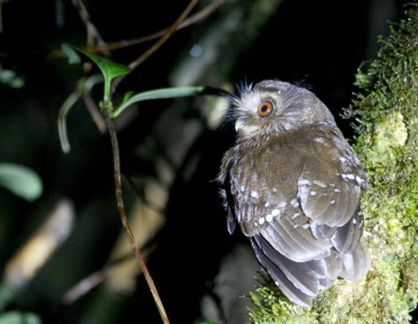 The Long-whiskered Owlet is a bizarre, tiny owl with long face plumes that was discovered by LSU researchers led by John O´Neill in 1976.