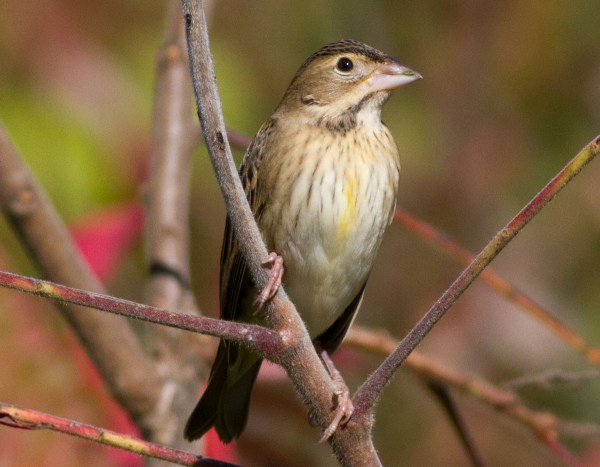 I wonder how the Dickcissel would feel about being called its four-letter code? (c) Jeannette Lovitch
