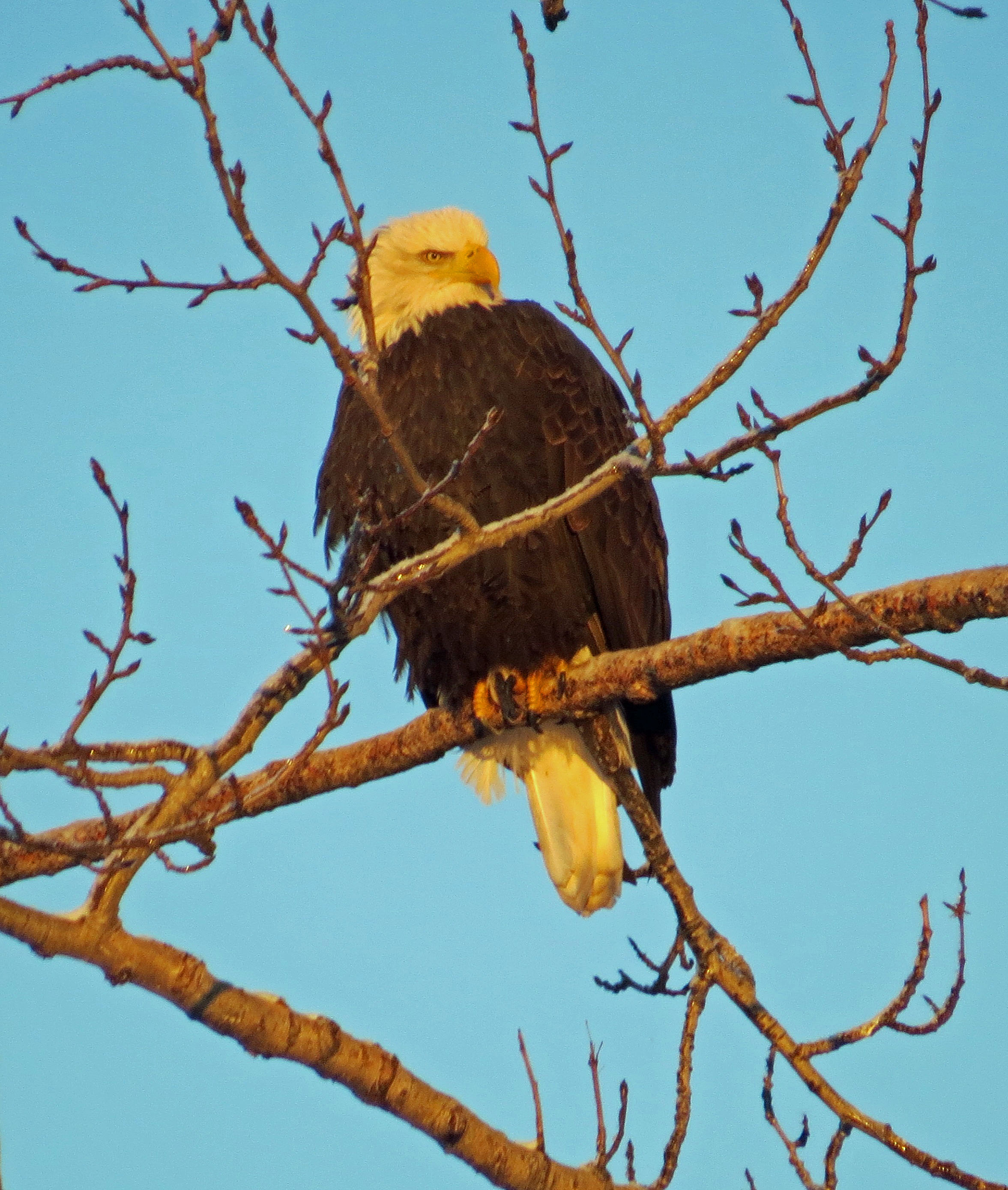 early january birding in anchorage eagle river christmas bird