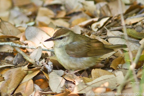 Swainson's Warbler was one of the many species of neotropic migrants Dorian found along the Texas coast in late April, photo by Dorian Anderson.