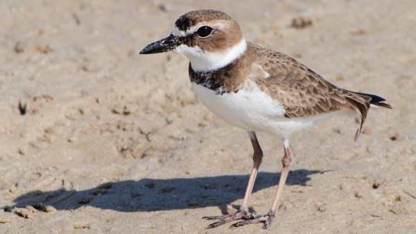 Wilson's Plover, finally an -us, not an -a. Photo by Shanthanu Bhardwaj via flickr