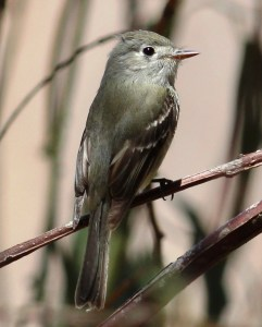 One can understand not having a clear memory of a Dusky Flycatcher.  Photo by Tom Benson courtesy Creative Commons