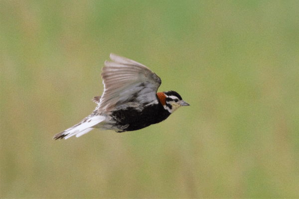 Male Chestnut-collared Longspur.