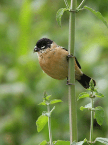 White-collared Seedeater is now the only regularly-occurring species of tanager found in the ABA Area.