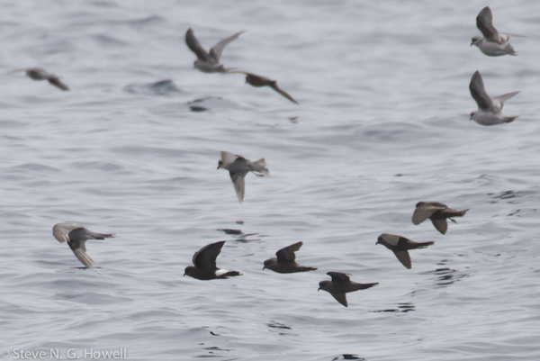 A Wilson's Storm-Petrel for comparison—no comparison, really, other than having a white rump.