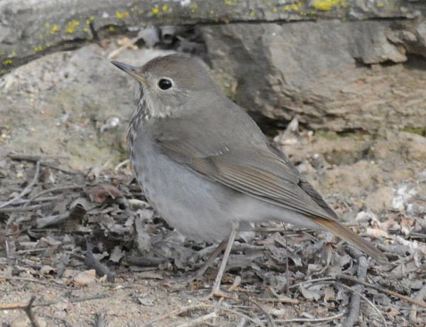 15-4-15-01a [Hermit Thrush] - EDITED