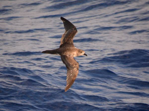 A striking capture of a fast- fl ying ocean bird, a Trindade Petrel at home a thousand miles from  shore. Photo ©Michael Sammer.
