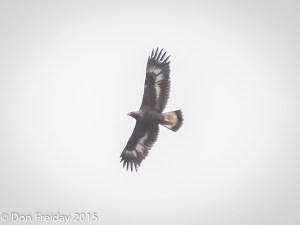 eagle, golden cape may nj