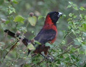 crimson-collared grosbeak