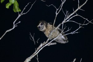 A Tawny-browed Owl gazes down in eastern Brazil on February 8, 2015 - a day that started at 2:00 a.m.