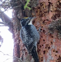 Am. Three-toed Woodpecker