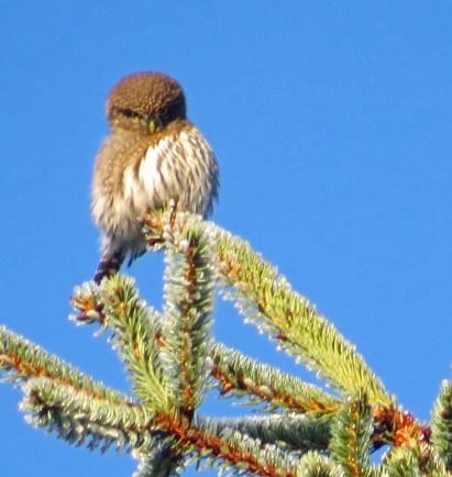 N. Pygmy-Owl