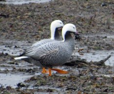 Emperor Geese