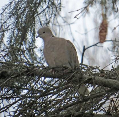 Eur. Collared-Dove