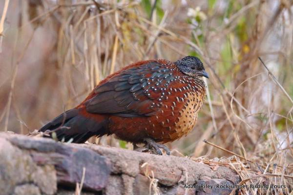 Sightings of Painted Spurfowl were fairly frequent in Ranthambhore. (Photo by Adam Riley)