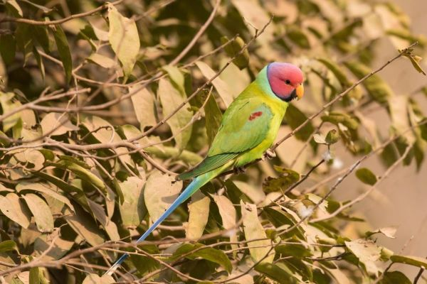 Plum-headed Parakeets provided a nice splash of color. (Photo by Jeff Gordon)