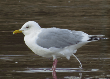 This particular seagull is a definitive alternate Thayer's Gull.