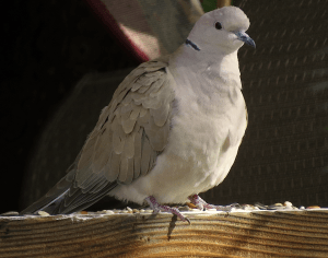 This dove is an African Collared-Dove, whose status along the I-25 urban corridor in Wyoming and Colorado is not well understood.