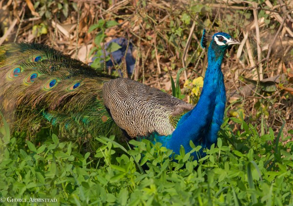 Sometimes referred to as the world's most spectacular bird, the Indian Peafowl is the national bird of India, and quite a sight.