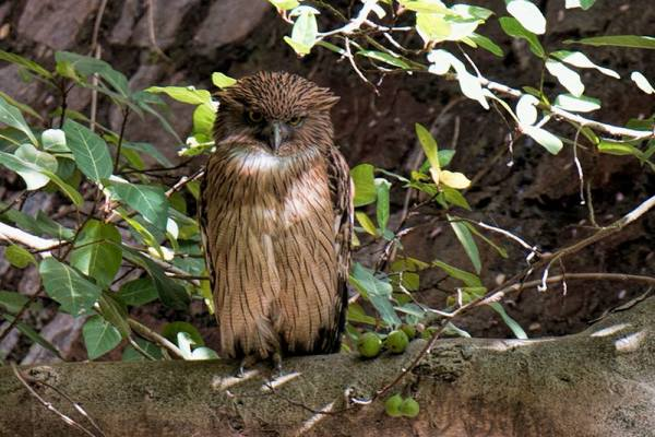 The Brown Fish Owl lurks in large trees along creeks and streams in Ranthambhore. (Photo by Donna Schulman)