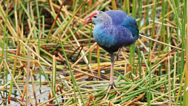 """Purple"" Swamphen in Florida, a can of worms from an invasive and a taxonomic perspective. Photo: Kenneth Cole Schneider via flickr"