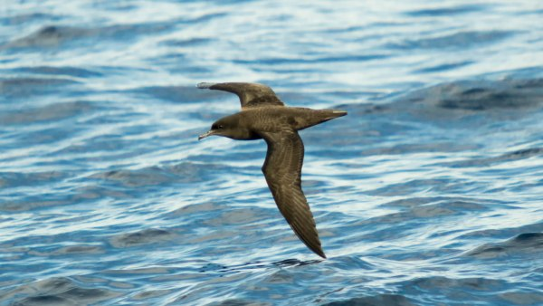 The smoky Sooty Shearwater is characteristic of the Ardenna group. Photo: Will Pollard via flickr