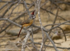 The female Vermilion Cardinal. Both males and females sing.