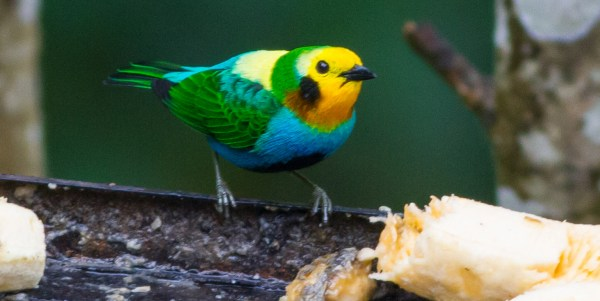 The endemic and absurdly gaudy Multicolored Tanager is a star of the attendees at feeding station at km18 in Cali for the Colombia Bird Fair. (Photo by G. Armistead)