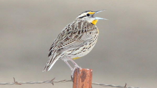 A Lilian's Meadowlark singing in Arizona. Are they different enough? Photo: Alan Schmeirer via flickr