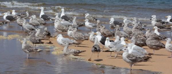 Gulls at Race Point Beach, Massachusetts, July 20, 2015. Photo by © Amar Ayyash.