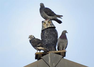 Rock Pigeons, Walmart Supercenter, Lafayette, Boulder County, Colorado; Aug. 28, 2016, 7:06 am.