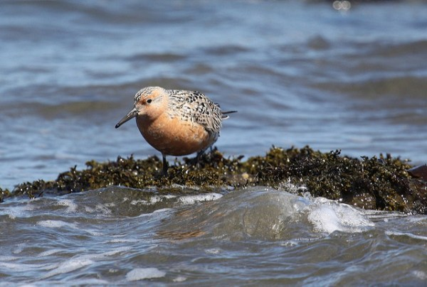 Red Knot has long languished on the list of species that do not enjoy ESA protection, but objectively should. Photo: USFWS