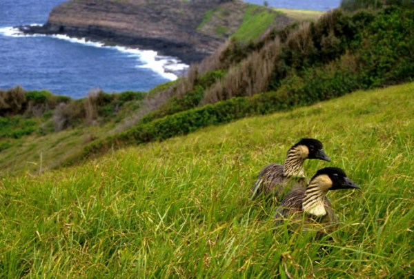 Will it be yea, yea or Nene? It's time to vote on adding Hawaii to the ABA Area. Nenes (Hawaiian Geese), Hawaii's State Bird, by USFWS.