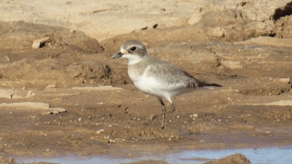 The cooperative Lesser Sand-Plover in Arizona is the 1st for that state and the 1st for the interior southwest. Photo Laura Keene via Macauley Library