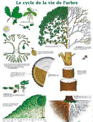 Cycle De Vie D'un Arbre : cycle, arbre, CYCLE, L'ARBRE, Projet, Arbres, Forêts, 2010-2012, (sannois)