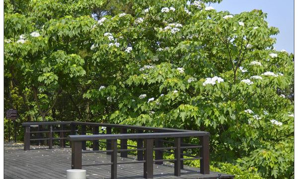 初夏裡的白雪紛飛場景 ???? 造訪苗栗桐花季 - Accupass 生活誌