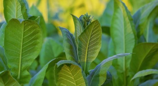 Folhas de tabaco