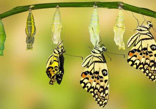 Transformation Of Lime Butterfly