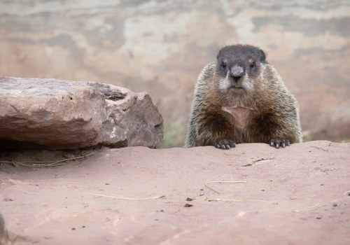 Groundhog peering over rock