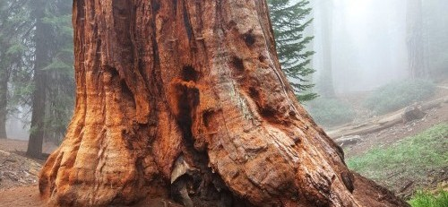 sequoia forest in fog