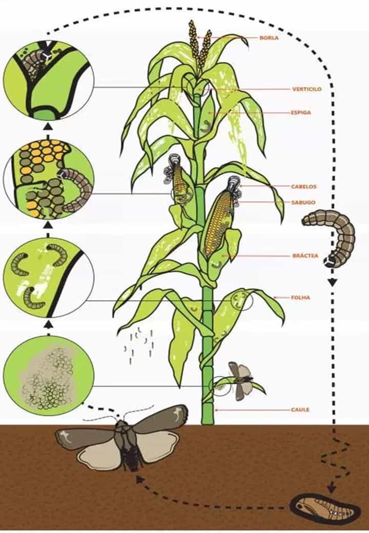 Ciclo de vida da lagarta-do-cartucho no milho