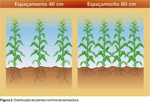 espaçamento 40 e 80cm na cultura do milho