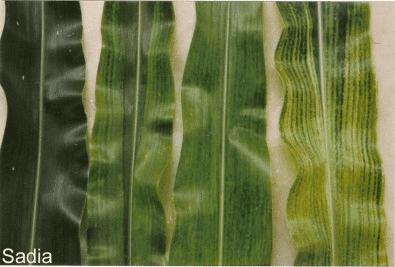 mosaico-virus-milho