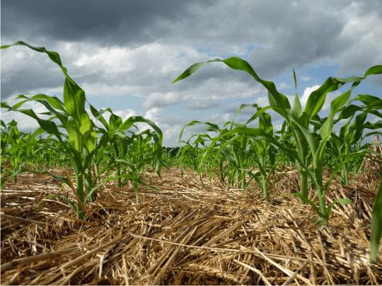 plantio-direto-milho