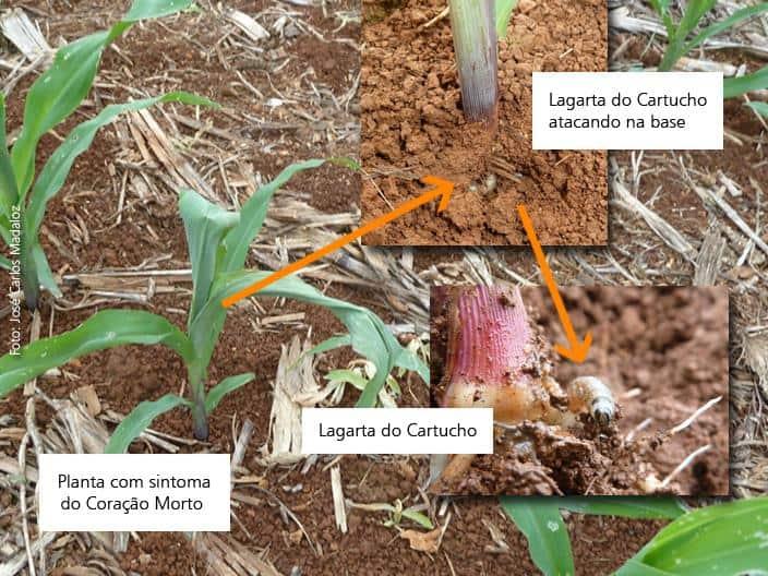 pragas-milho-inicio-cultura