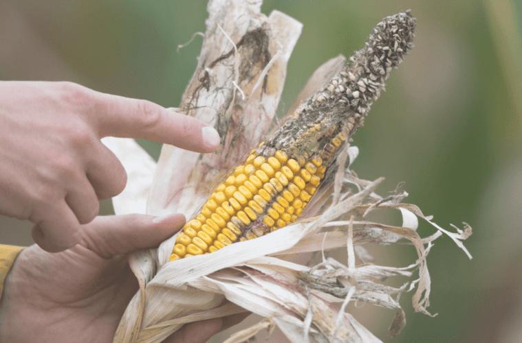 principais-doenças-do-milho