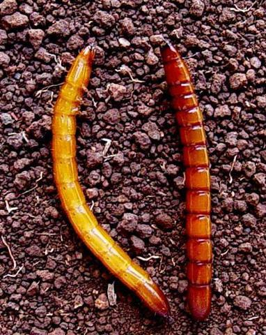 larva-arame