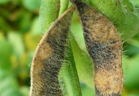 6-doenças-de-final-de-ciclo-soja