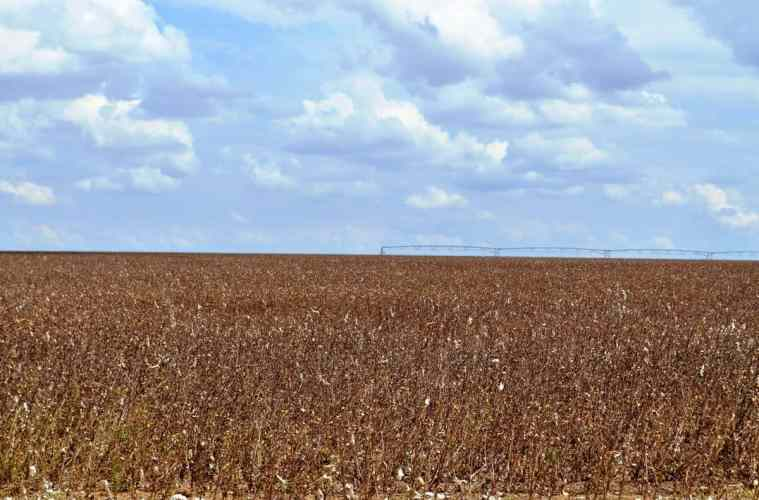 planta-de-algodão